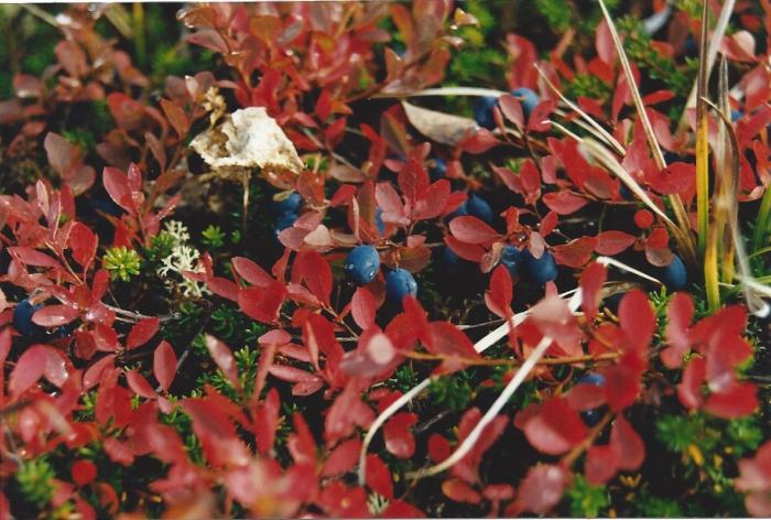 Alaska Berries 1
