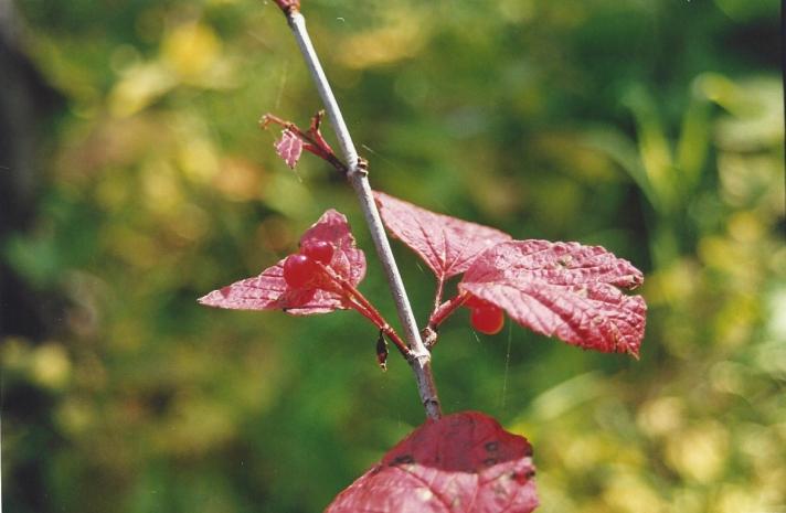 Alaska Berries 2